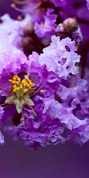 Flower of a Banaba Tree - Lagerstroemia Speciosa (considered as medicinal plant ... kindly verify )