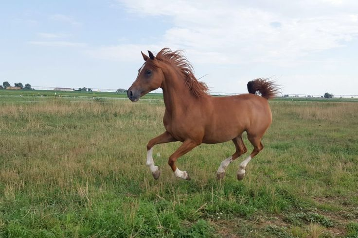 Gretchen - Colorado Rescue Horse--Chestnut, Mare, 2002, 14.1h Adoption Fee: 975.Gretchen is a super sweet mare who gets along well with other horses and has done a lot of trail riding.  She is available for an intermediate rider for pleasure/trail rides.