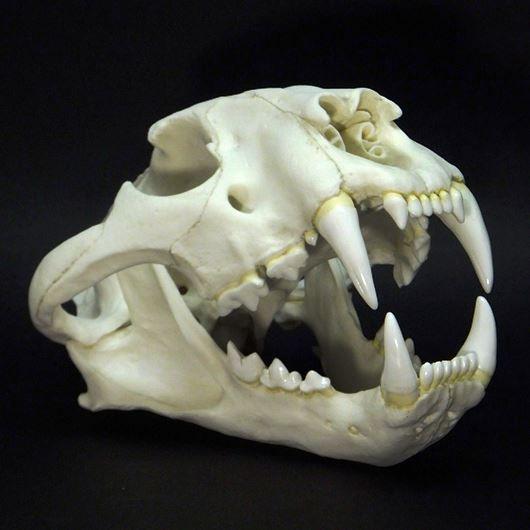 「虎 骨格」の画像検索結果