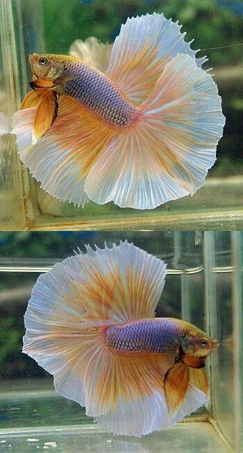 MG butterfly HM male betta fish