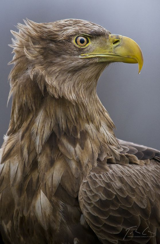 ~~ White-tailed eagle (Haliaeetus albicilla) ~~