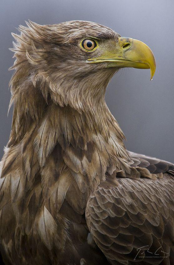 White-tailed eagle (Haliaeetus albicilla) by Csaba Tökölyi, via 500px