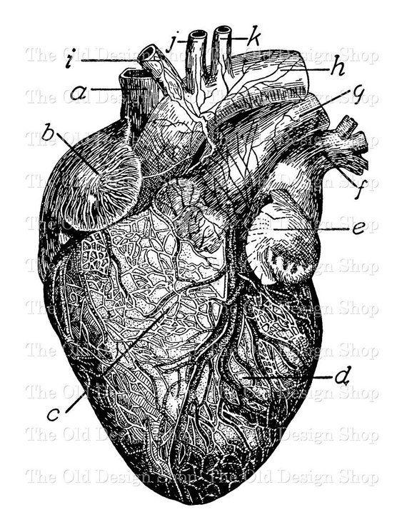 Anatomical Heart Commercial Use Clip Art Vintage Medical Etsy Heart Clip Art Anatomical Heart Drawing Clip Art Vintage