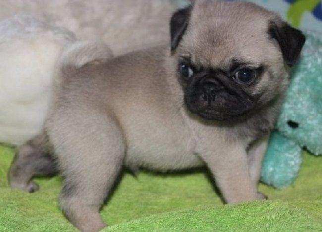 teacup pug puppies for sale | Zoe Fans Blog