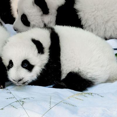 Nem viccelünk, ennyire cukit még sosem láttál! Megnyílt a pandaóvoda