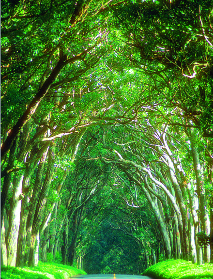 The eucalyptus tree tunnel that creates a gateway to Kaui's South Shore, heading to Koloa and Poipu.