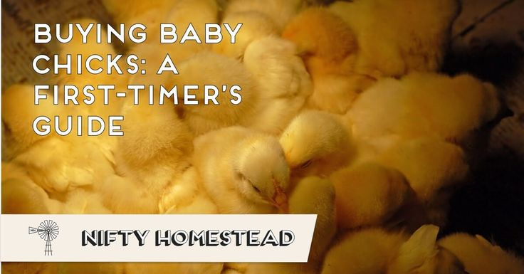 Raising chicks is exciting but getting started can be confusing. Where is the best place to buy baby chicks?