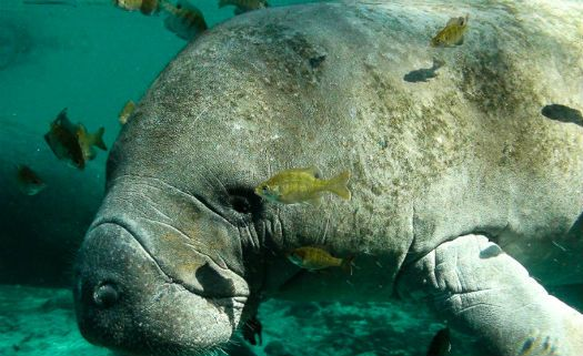 Águas aquecidas por usinas nucleares viciam peixes-boi nos EUA
