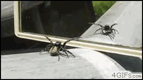 missbonniebunny:  hellish-deer:  ceruleanpineapple:  spiders.  they're like tiny 8-legged catshow can anyone hate them  Look at these nerds.   Arachnerds, indeed. Don't fear the spiders!