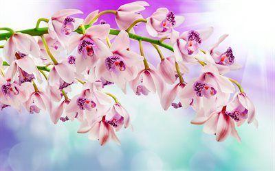 Scarica sfondi bellissimi fiori, orchidee, rosa orchidea, un ramo di orchidea