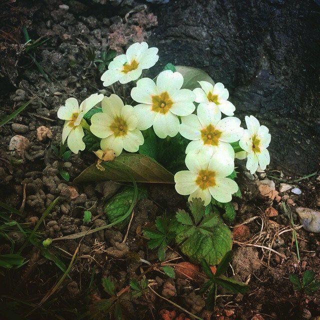 #flower #garden #beauty #white #primula #yellow #green #power #flowerpower #nature #instanature #focus #petali #novellaorchidea #novella #orchidea #raccontierotici #racconti #ebook #ricardo #tronconi #eroticnovel #staytuned #followme #author