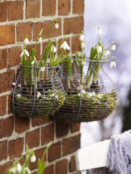 Schneeglöckchen (Galanthus) ist eine zarte Schönheit der Wintersaison - gepflanzt werden die Blumenzwiebeln im Herbst.