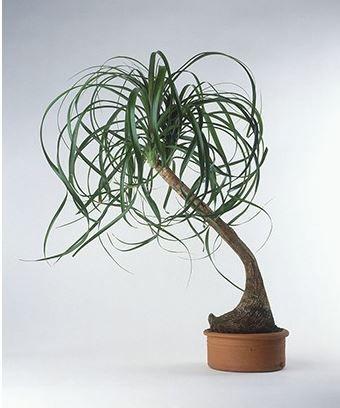 Un plante d'intérieur très résistante. Découvrez-la !  #beaucarnea #plantes #plante #plantes d' intérieur #plante d'intérieur #green