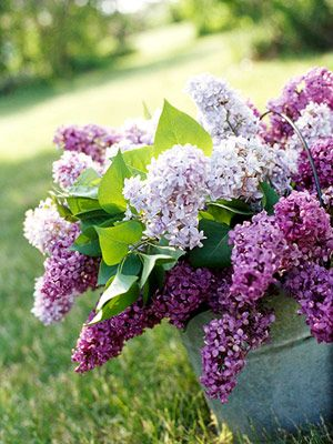 With their sweet scent, pastel blooms and delicate, heart-shape leaves, lilacs are the perfect bouquet! Read more about growing lilacs: http://www.midwestliving.com/garden/flowers/lilac-flowers/