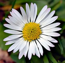 Daisy:    Bellis perennis is a common European species of daisy, of the Asteraceae family, often considered the archetypal species of that name. Many related plants also share the name daisy, so to distinguish this species from other daisies it is sometimes qualified as common daisy, lawn daisy or English daisy. Historically, it has also been commonly known as bruisewort and occasionally woundwort (although the common name woundwort is now more closely associated with Stachys (Betony)).