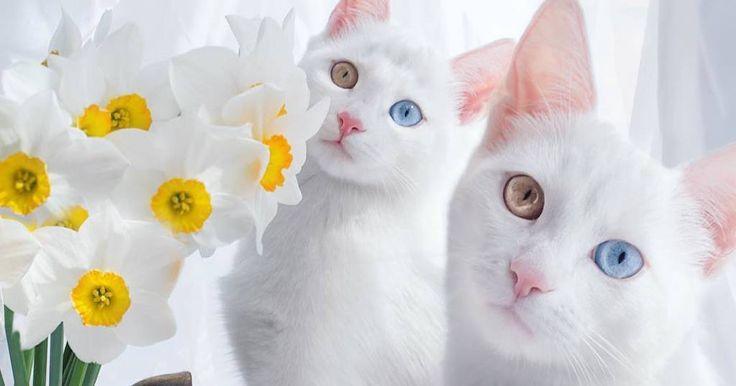 Αυτές οι δίδυμες γάτες είναι ίσως οι πιο όμορφες στον κόσμο. - Τι λες τώρα;