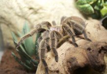 Cheapest Pet Tarantulas