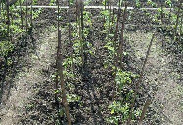 Когда и как высаживать рассаду помидор в открытый грунт