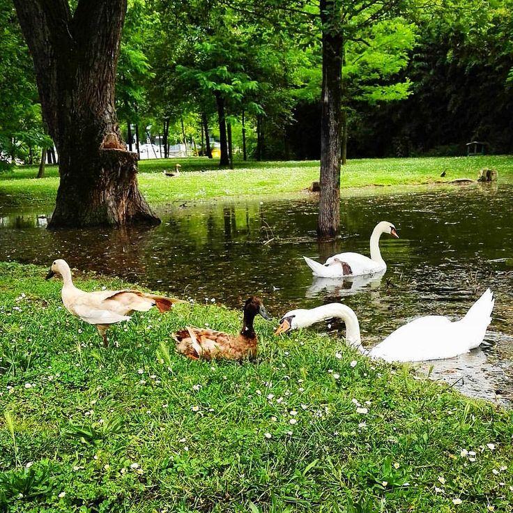 https://flic.kr/p/HEivG7 | Simpatici abitanti del #laghettodellegrovis #anatre #duck #cignobianco #swam #naturegram #naturephotography #animalgram #lake #nature #igersfvg | cigni e anatre al laghetto delle grovis