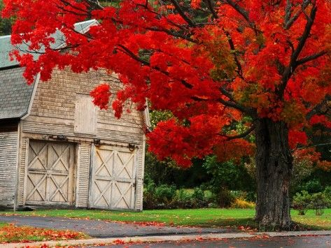 Tree with Red Leaves and Barn Photographic Print by Mark Karrass at AllPosters.com