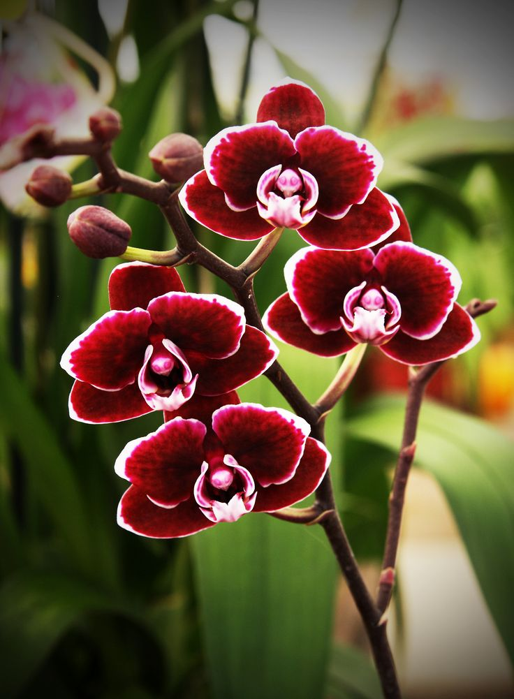 Miniature Red Phalaenopsis Orchid - (Individual Flowers are the size of a U.S. Nickel)