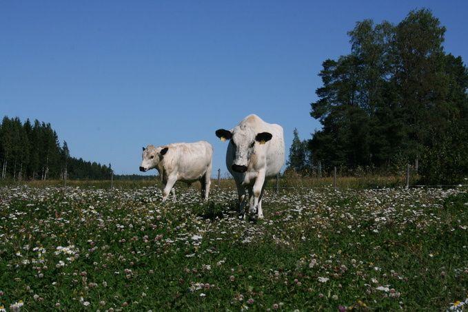 Lehmä - Peikkorinne