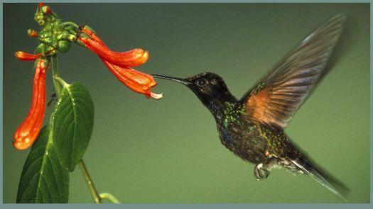 kolibřík (112 pieces)