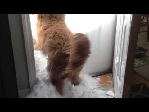 A Pair of Excited Dogs Get Stopped at the Door by High Piled Snow While In Pursuit of a Squirrel