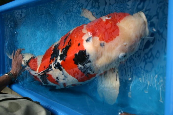 Biggest koi ever koi pinterest koi for Large koi carp