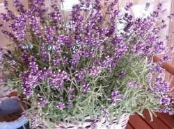 Levandula - pestovanie Levandule - Vaše rady a tipy - Ako sa to robí.sk