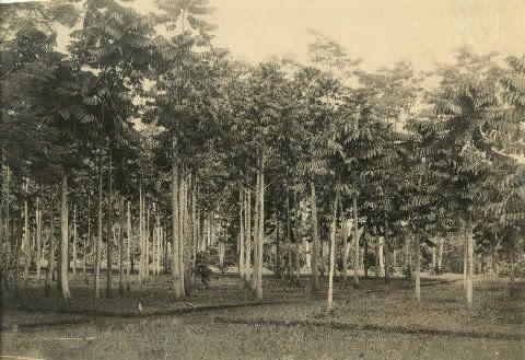 Kebun Karet Cikeumeuh 1900