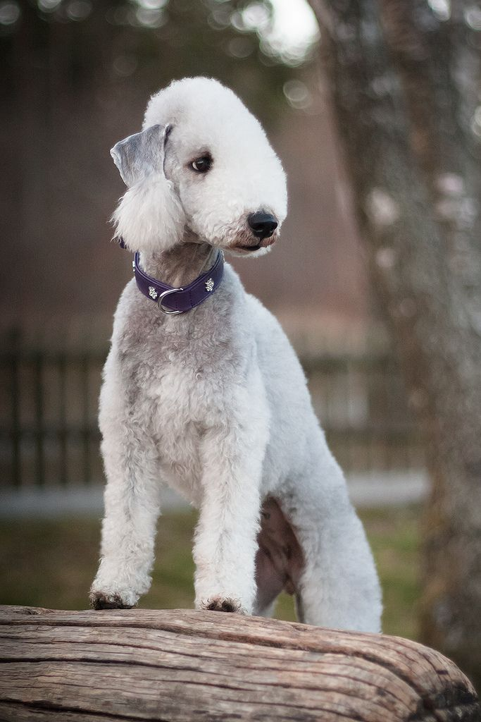 All sizes | Bedlington Terrier | Flickr - Photo Sharing!
