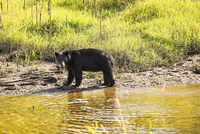 Having a glance - bear in the park and sometimes in the backyard!