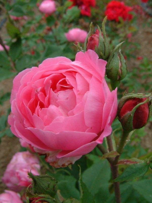 La Reine Victoria - Bourbons - Old Garden Roses - Rose Catalog - Tasman Bay Roses - Buy Roses Online in New Zealand