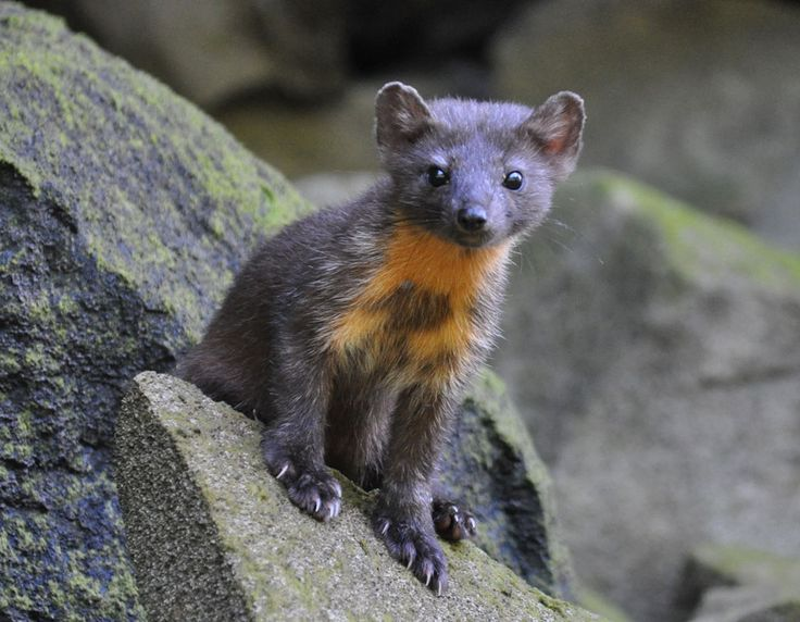 An American marten. Credit: Tom Cottrell