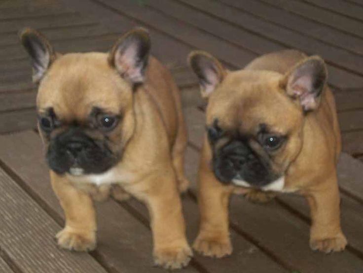 Cadbury Angels, Franse Bulldog, Franse Bulldoggen, French Bulldog, French Bulldogs, Bouledogue Français, tania d'haeyer, pup, puppy, puppie, puppies, puppy's, chiots, pups, Rashondenonline