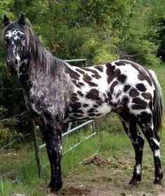 Caballo indio APPY manta de leopardo Appaloosa caballo equinos pony nativo americano manchado el casquillo de la nieve