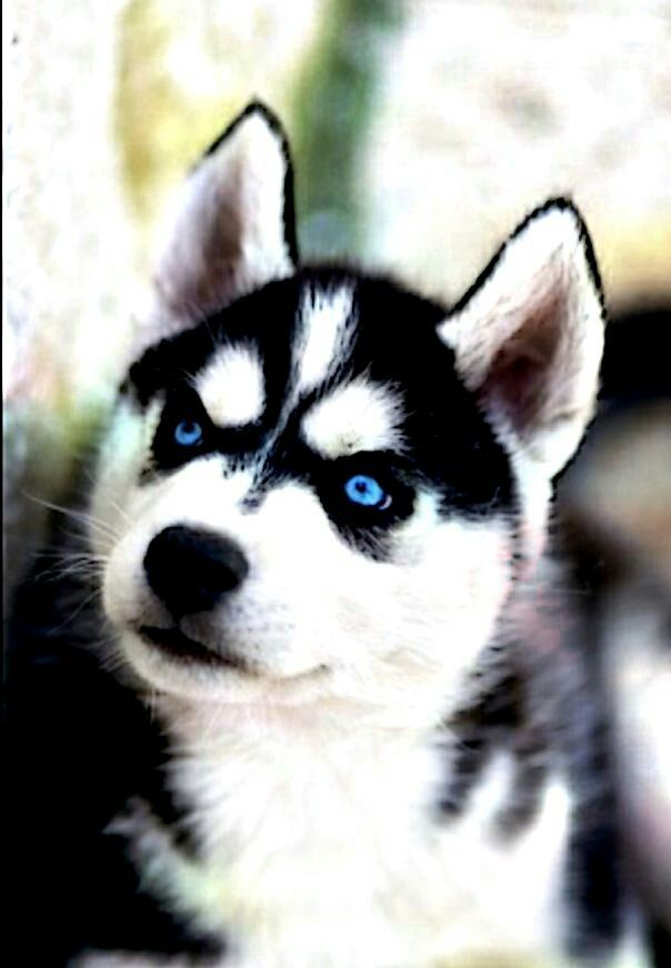 Siberian Husky pup, super blue eyes with the black behind ...