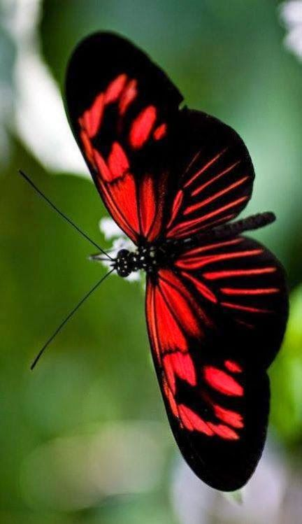 My kind of Flutterbug...a red butterfly...a beautyfly!!!!