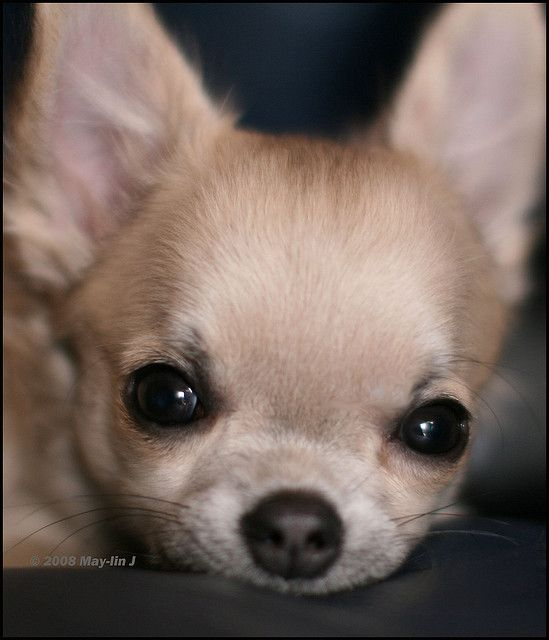 Chihuahuas- are they truly the sweet little lap dogs with loads of personality or is there a society of Geniuses that are determined to conquer the Universe????