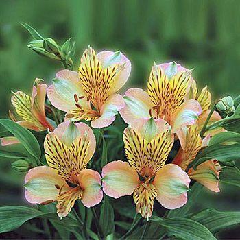"Peach Bulk Peruvian Lilies Flowers Tobago 250; 100 stems @$110.00; 18""; 8 days"