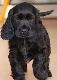 black cocker spaniel puppy... my  favourite
