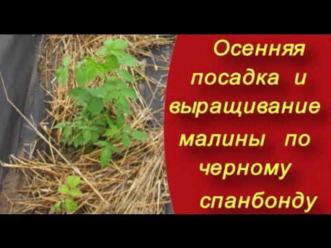 Как правильно посадить малину. Осенняя посадка и выращивание малины по ч...