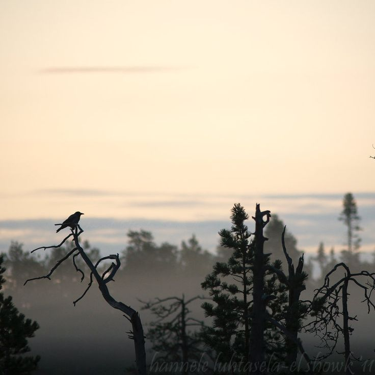 A crow saying goodbye to the setting sun in Kuhmo.
