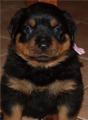 Simple Chub Chubby Adorable Dog - d3b663559f9d96bfc12549d78437d593--fat-puppies-fat-dogs  Collection_26580  .jpg