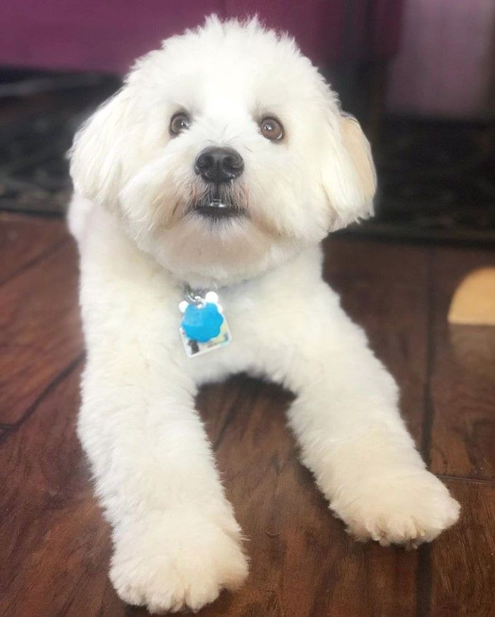 Shih Mo Shih Tzu X American Eskimo Dog Mixes Blue Heeler Dogs Girl And Dog