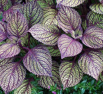 discount on bata footwear This beauty is another variety of coleus   Sun tolerant coleus with patterned veins is easy to grow  It is an annual foliage plant that thrives in warm weather with moist soil conditions  You also can plant it in container gardens or landscape beds for season long color  Most varieties can be grown in sun or shade  but often develop more intense coloration in bright light