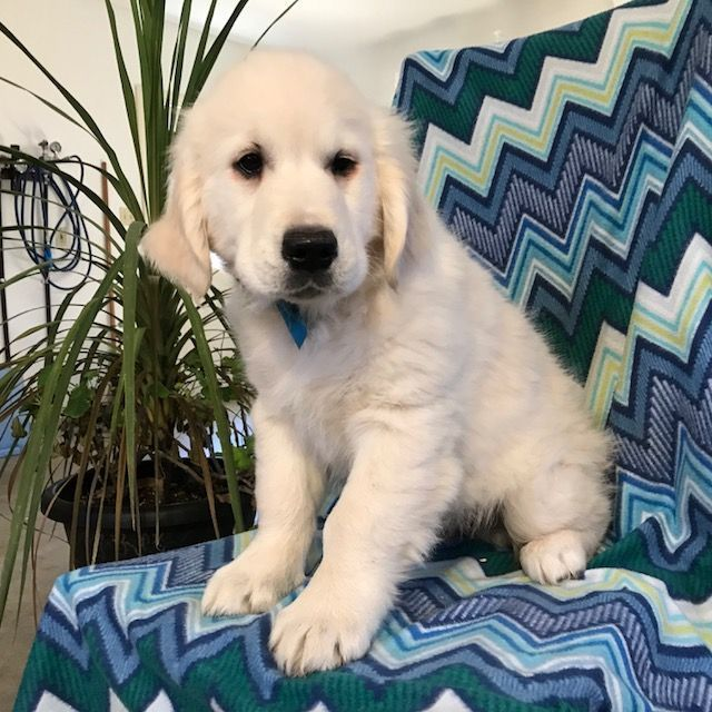Kamo Is A Male Golden Retriever Puppy For Sale At Puppyspot Call