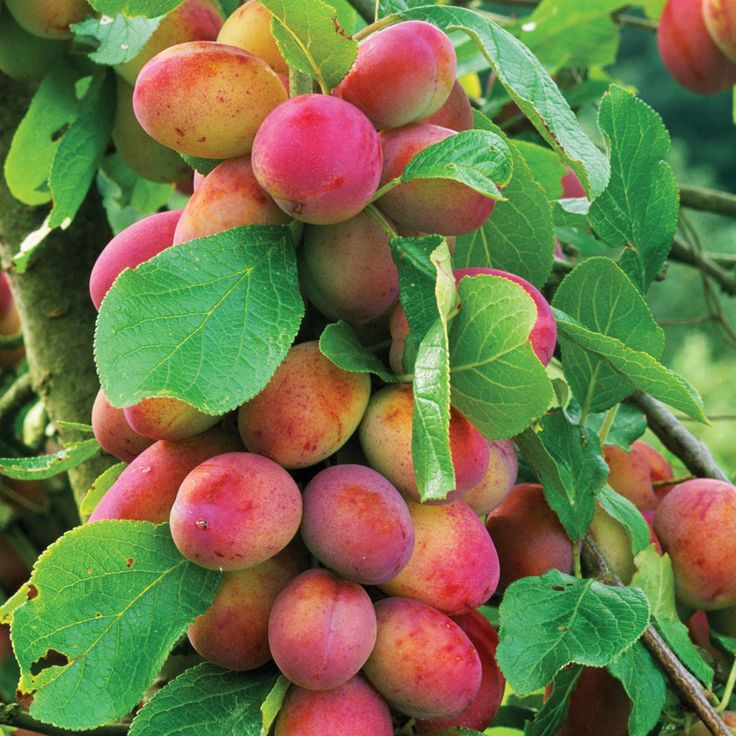 best fruits trees images on, Natural flower