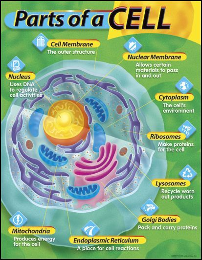 Parts of a Cell Learning Chart   Main photo (Cover)